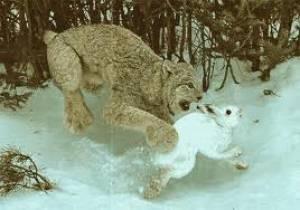 Big Cats Eating Prey